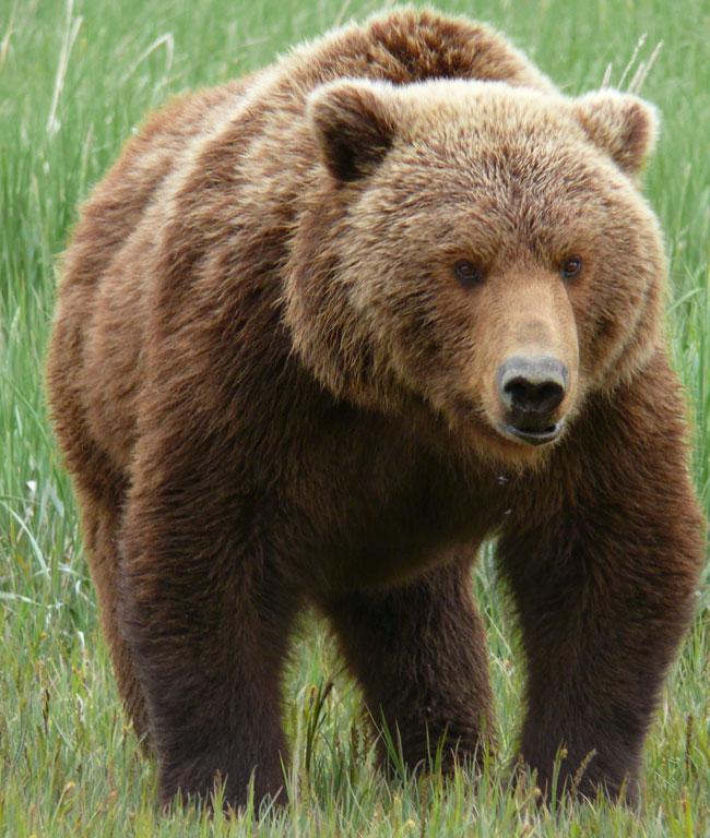 Orso bruno il portale dei bambini for Affittare una cabina grande orso
